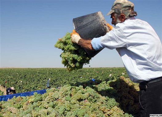 Armenia -- Villagers collect grapes during a vineyard in Armavir region.
